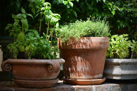 How to grow Basil in your indoor herb garden