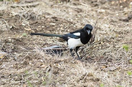 Black-billed Magpie Study 6