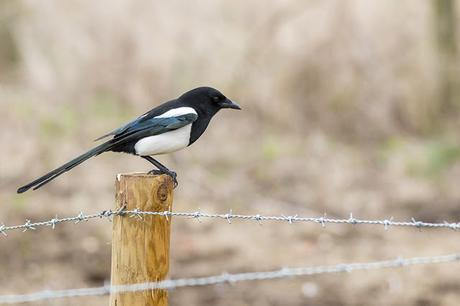 Black-billed Magpie Study 2