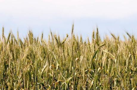 Turkey Wheat Production