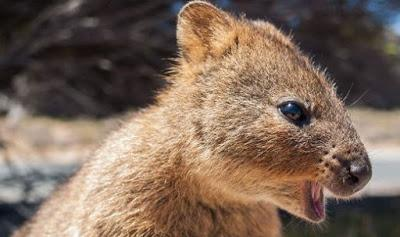Intresting animals  :  Quokka thrown into sea ! Lilou, stress relieving pig !!