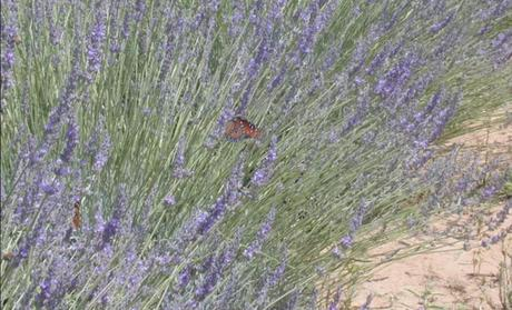 Lavender Soothes Senses At San Miguel de Allende Spas
