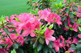 azaleas in bloom on golf course