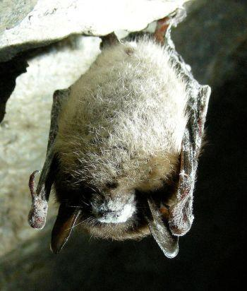 Bat-killing fungus spreads to Texas – Summit County Citizens Voice