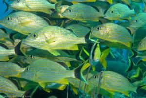 Limited nursery replenishment in coral reefs