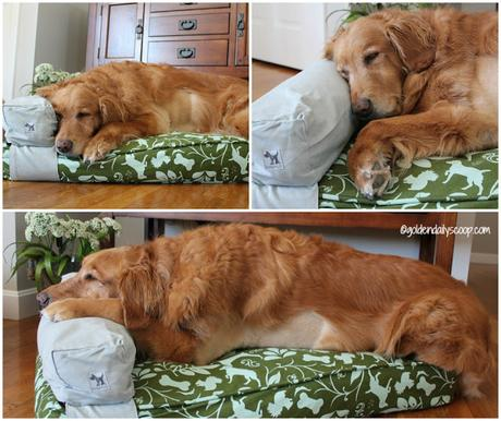 golden retriever laying and sleeping on molly mutt dog bed