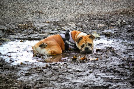 50 Shots: A #London #Photoblog No.1. British Bulldog Up To His Neck In It Down #Battersea Way