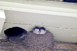 Public urged to avoid birds' nests during gardening and building work