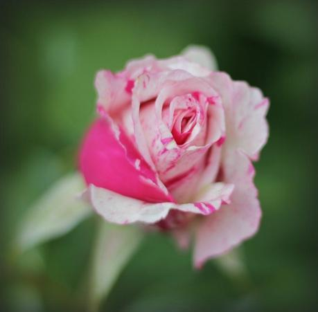 pink and white variegated rose