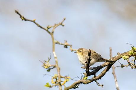 Chiffchaff Singing for the top of a tree.