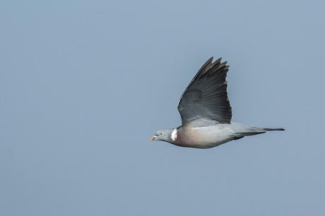 Wood Pigeon in Flight