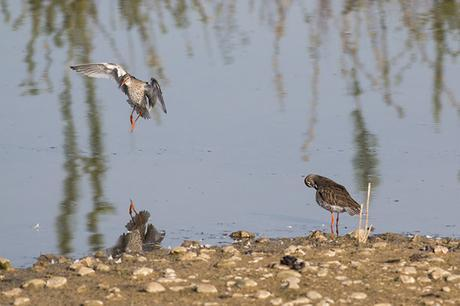 Redshank pair