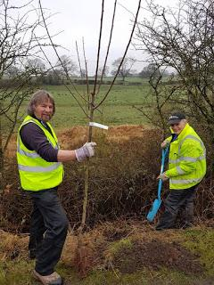 NEW ORCHARD PLANTED ALONG MACCLESFIELD CANAL