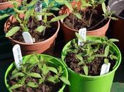 Pricking-out Tomato Seedlings