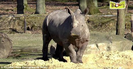 Are Zoos protective ~ Rhino shot dead inside Thoiry zoo