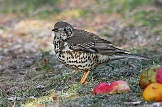 Red-listed thrushes turn to gardens