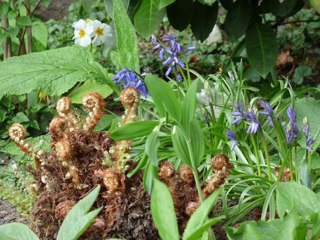 Woodland flowers bluebells primulas