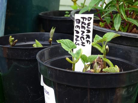 Greenhouse April seeds