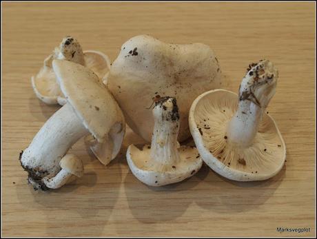 The St.George's mushroom