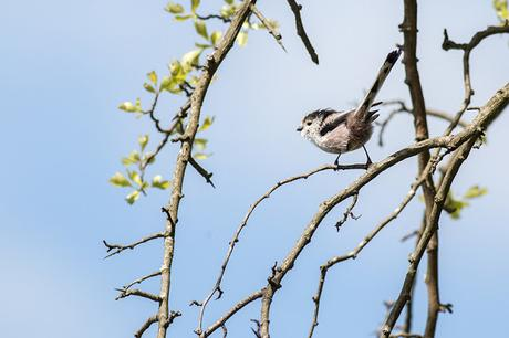 Long-tailed Tit looking for nesting material 2