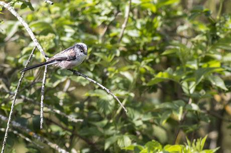 Long-tailed Tit looking for nesting material