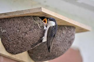 House Martins in need of nosy neighbours