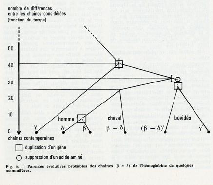 Pauling, Zuckerkandl and the Molecular Clock