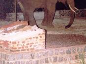 Elephant Calf Comes Calling Home ....