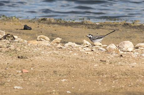 Another view of the pied/white wagtail