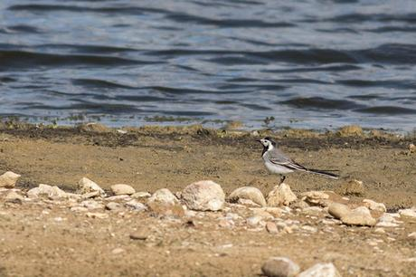 Pied or White Wagtail?