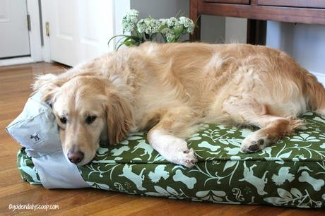 golden retriever sleeping on molly mutt dog bed