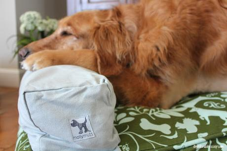 golden retriever dog laying on Molly Mutt bed and pillow pack
