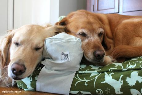 golden retriever dogs find sleeping with a molly mutt pillow comforting