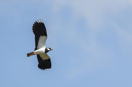 Lapwing in flight again