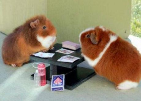 Guineapigs Playing Poker