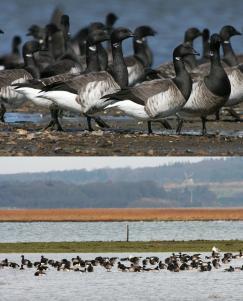Spring asynchrony in migratory birds