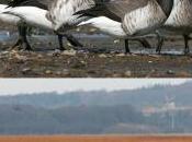Spring Asynchrony Migratory Birds