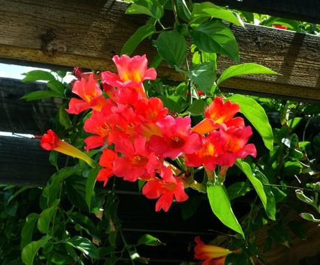 trumpet vines in bloom