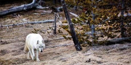 Famous Rare White Wolf Killed in Yellowstone, $10K Reward Offered