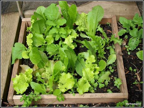The start of the Salad season
