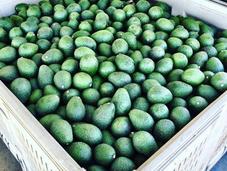 Avocados Grow?