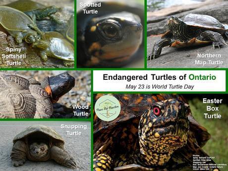 World Turtle Day Endangered Turtles of Ontario May 23