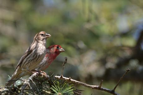 House Finch bird in Pembroke, Ontario Photo by Stacey McIntyre-Gonzalez