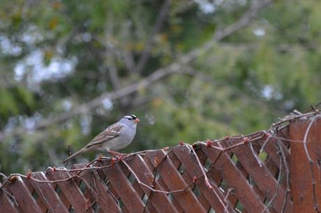 White-crowned Sparrow bird in Pembroke, Ontario Photo by Stacey McIntyre-Gonzalez Copyright©