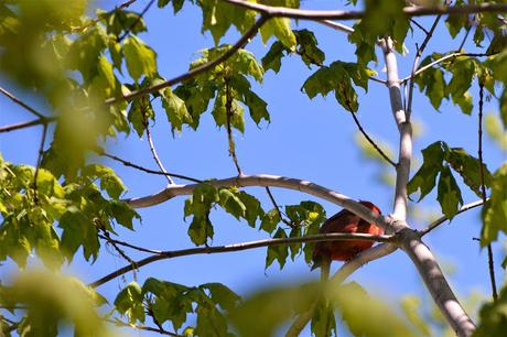 Northern Cardinal bird in Pembroke, Ontario Photo by Stacey McIntyre-Gonzalez