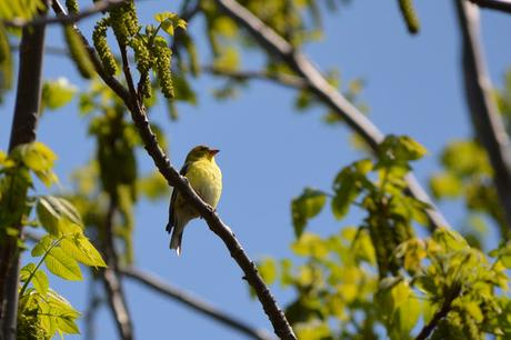 American Goldfinch bird in Pembroke, Ontario Photo by Stacey McIntyre-Gonzalez Copyright©