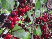 Cherry-Picking Penela Beira