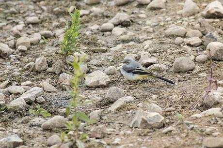 Young Grey Plover