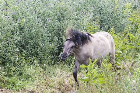 Getting Feisty - Konik Pony