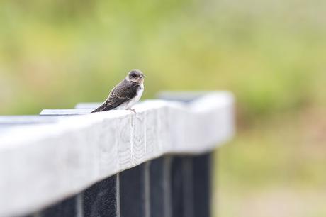 Sand Martin resting on handrail